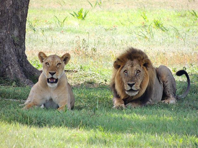lions-175934_640.jpg